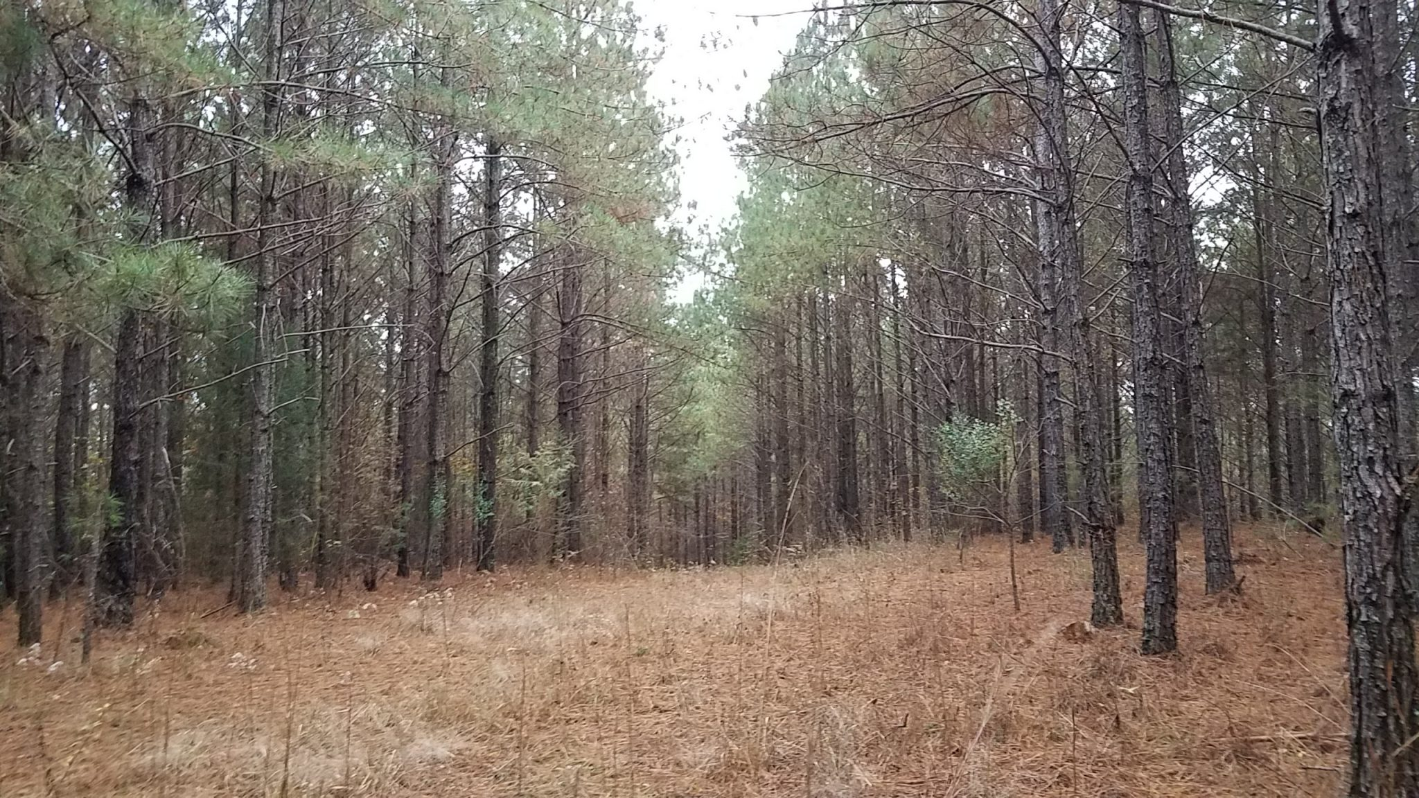 PINE PLANTATION IN NORTHERN CLAY COUNTY